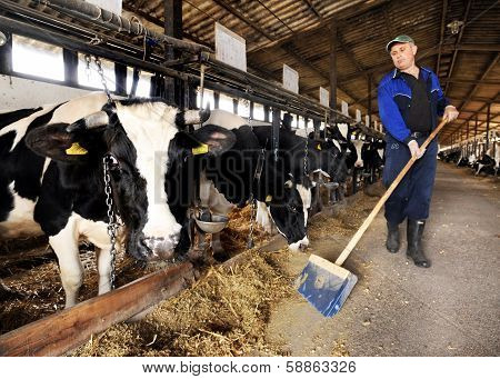 Cow farm milk production