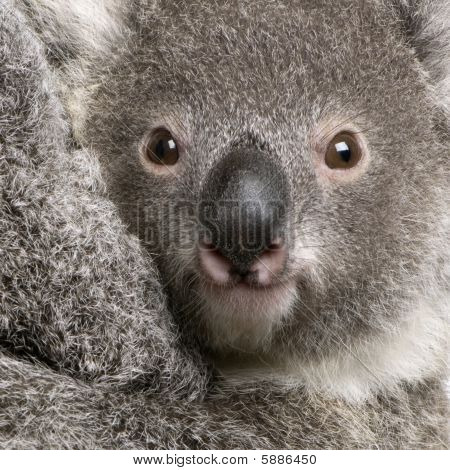 Close-up Of Koala Bear, Phascolarctos Cinereus, 9 Months Old