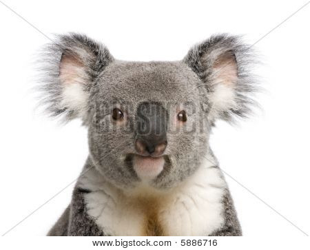 Portrait Of Male Koala Bear, Phascolarctos Cinereus, 3 Years Old, In Front Of White Background, Stud