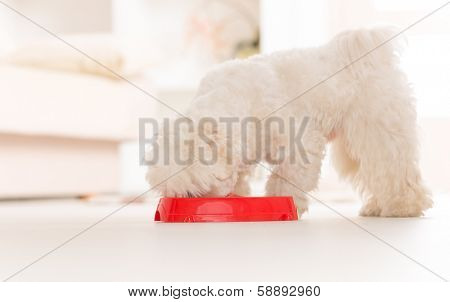 Little dog maltese eating his food from a bowl in home