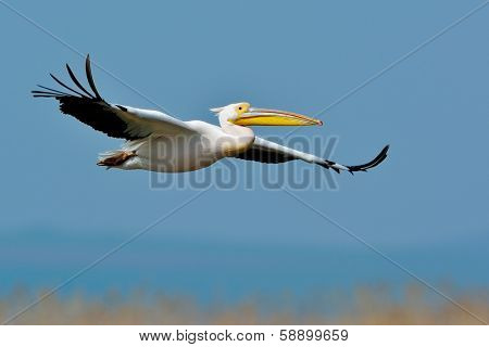 pelican flying  in natural habitat (pelecanus onocrotalus)