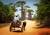 stock photo of baobab  - Zebu cart on a dry road leading through baobab alley - JPG