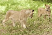 Two Adolescent Lionesses