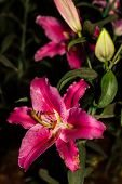 picture of stargazer-lilies  - Beautiful Pink Lilies  - JPG