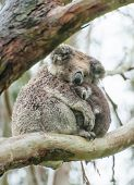 stock photo of koala  - Female wild koala bear with a baby on gum tree during the rain - JPG