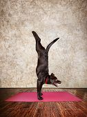 stock photo of yoga mat  - Yoga dog doing handstand pose on red yoga mat in yoga hall - JPG