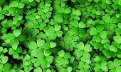 stock photo of shamrocks  - top view of a expanse of four - JPG