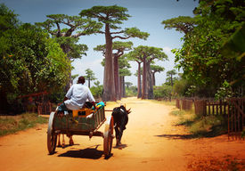 picture of zebu  - Zebu cart on a dry road leading through baobab alley - JPG