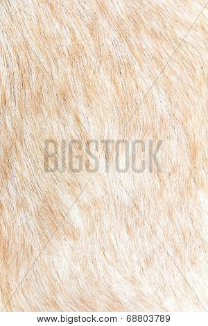 boer sheep wool background
