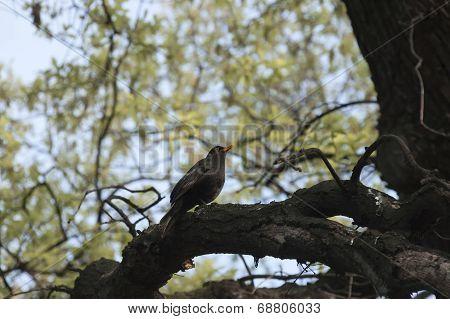Beauty blackbird sing