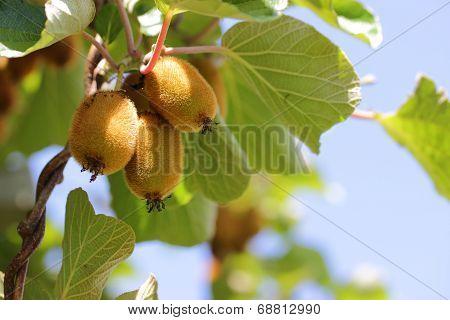 Kiifruit