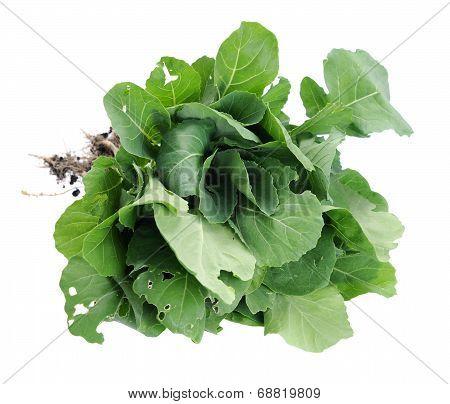 Organic Brassicaceae