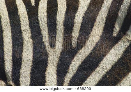 Zebra Stripes 2