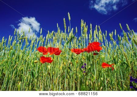 Poppies And Wheat Early By Summertime.