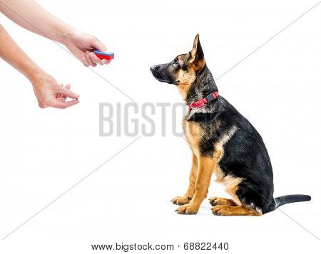 German shepherd puppy being trained how to sit using clicker and treat method