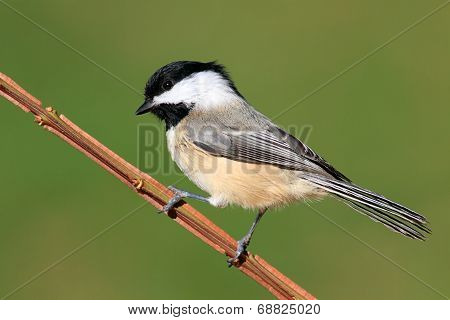 Chickadee On A Branch