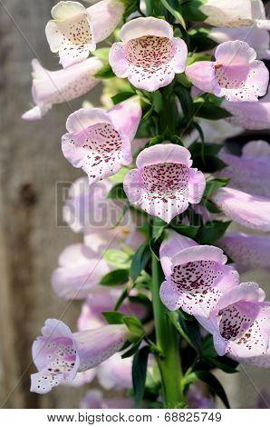 Foxglove Lupine Flower