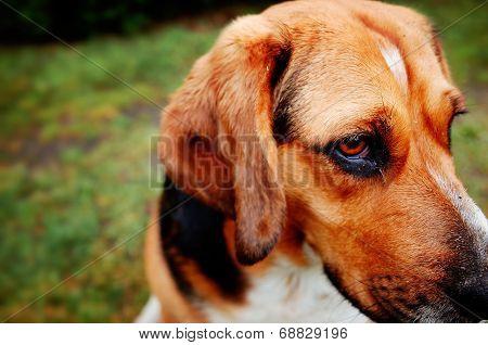 Beagle - Basset Hound Mix