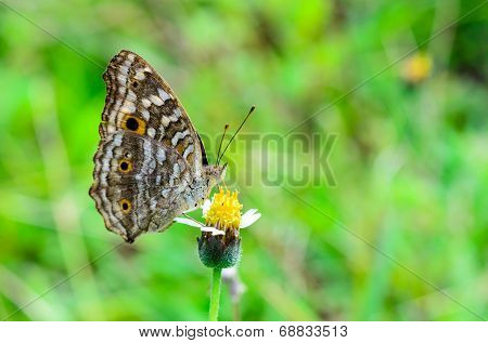 Lemon Pansy, Close Up Of A Brown Butterfly