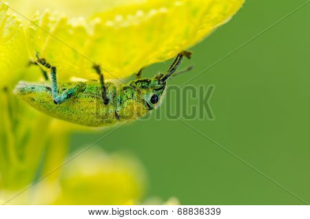 Green Weevil Or Hypomeces Squamosus