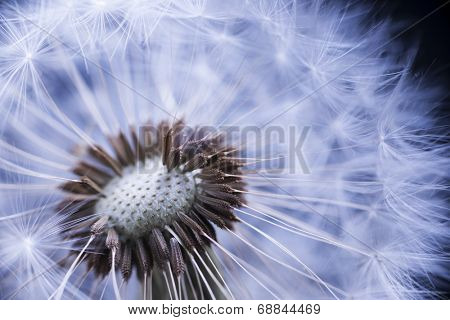 Dandelion seed head macro close up with some seeds missing
