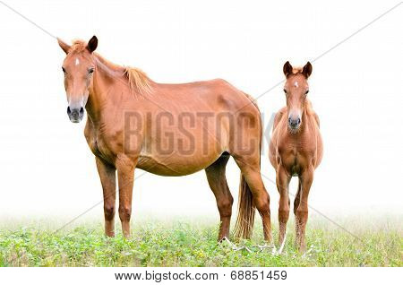 Brown Mare And Foal On White Background