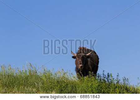 Lone Bison