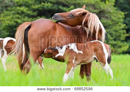 Horse Foal Suckling From Mother.