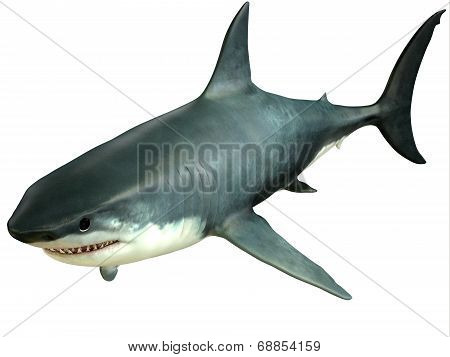 Great White Shark Upper