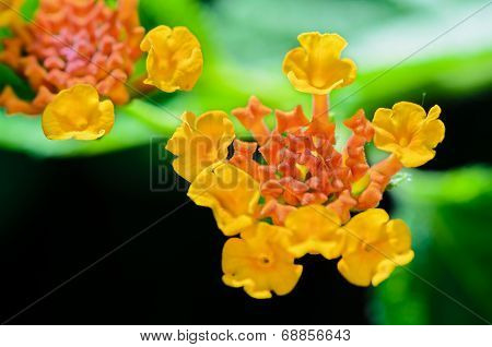 Small Flowers Of Lantana Camara