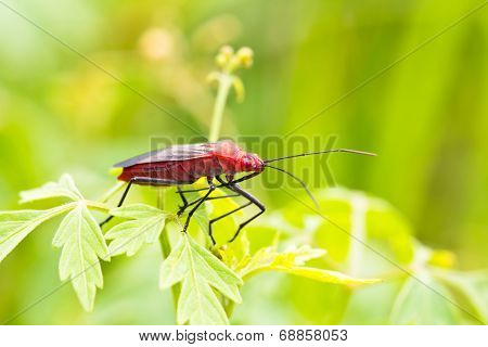 Close Up Of Red Bug Or Catacanthus Incarnatus