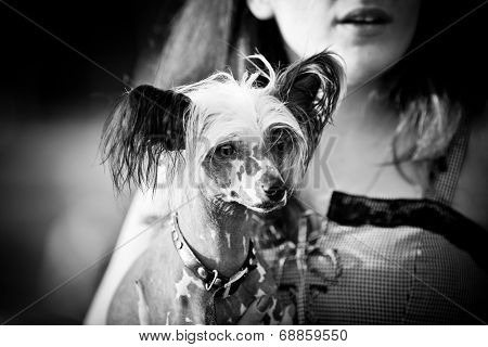Chinese Crested Dog Walking Outdoors
