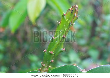 leaves of dragon fruit tree with drop water