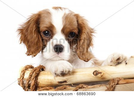 Cavalier King Charles Spaniel lying down, isolated on white