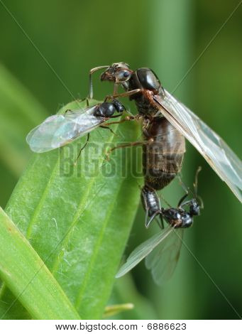 The Pairing Of A Black Garden Ant