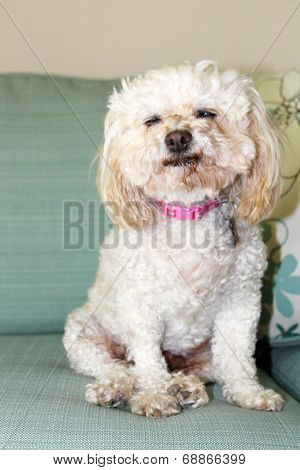 A Bichon Frise smiles as she relaxes a couch. This is a Foster dog that was abandoned at age 10, but rescued by a dog rescue group and adopted out to a loving family.