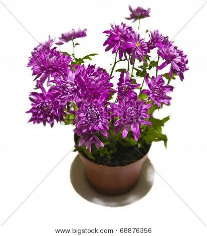 Purple Astra In Pot