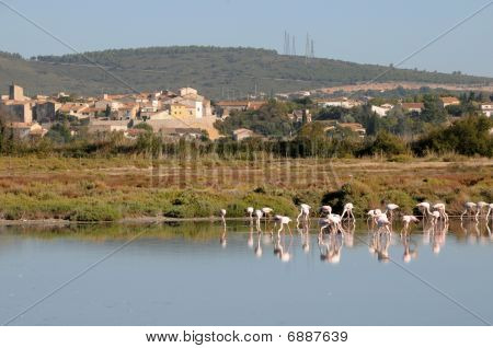 Wild Flamingos in the  lagoon of the town of Sete, in the South of France