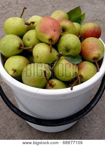 bucket full of fresh harvested pears
