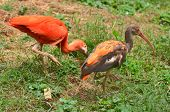 pic of scarlet ibis  - Scarlet ibis on green grass - JPG