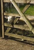 stock photo of heatwave  - A lamb looking through a wooden gate in a field during the height of a British heatwave - JPG