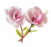picture of magnolia  - pink magnolia flower isolated on white background - JPG