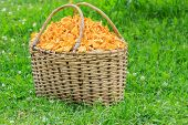 picture of chanterelle mushroom  - Basket of freshly cut chanterelle mushrooms at grass background - JPG