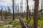 foto of epidemic  - dead pine trees in the black hills national forest after almost 20 years of a pine beetle epidemic - JPG