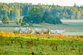 pic of early morning  - Group of heifers in early morning on pasture - JPG