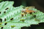 stock photo of snipe  - Predatory fly Snipe - JPG