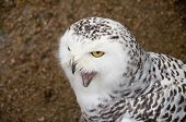 stock photo of snowy owl  - Close up of Snowy owl screaming opening its beak with yellow eye - JPG