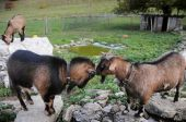 picture of saanen  - pair of swiss saanen goats butting heads of looking on - JPG