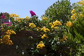 foto of begonias  - Decorative Aegean and Mediterranian flower Bougainvillea  - JPG