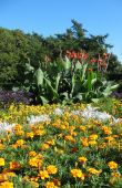 picture of heliotrope  - A flower bed of cannas garden  - JPG